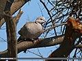 Eurasian Collared Dove (Streptopelia decaocto) (25026252099).jpg