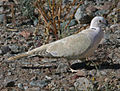 Eurasian Collared Dove RWD.jpg