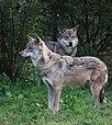 Eurasischer Wolf Tiergarten Worms 2011.JPG