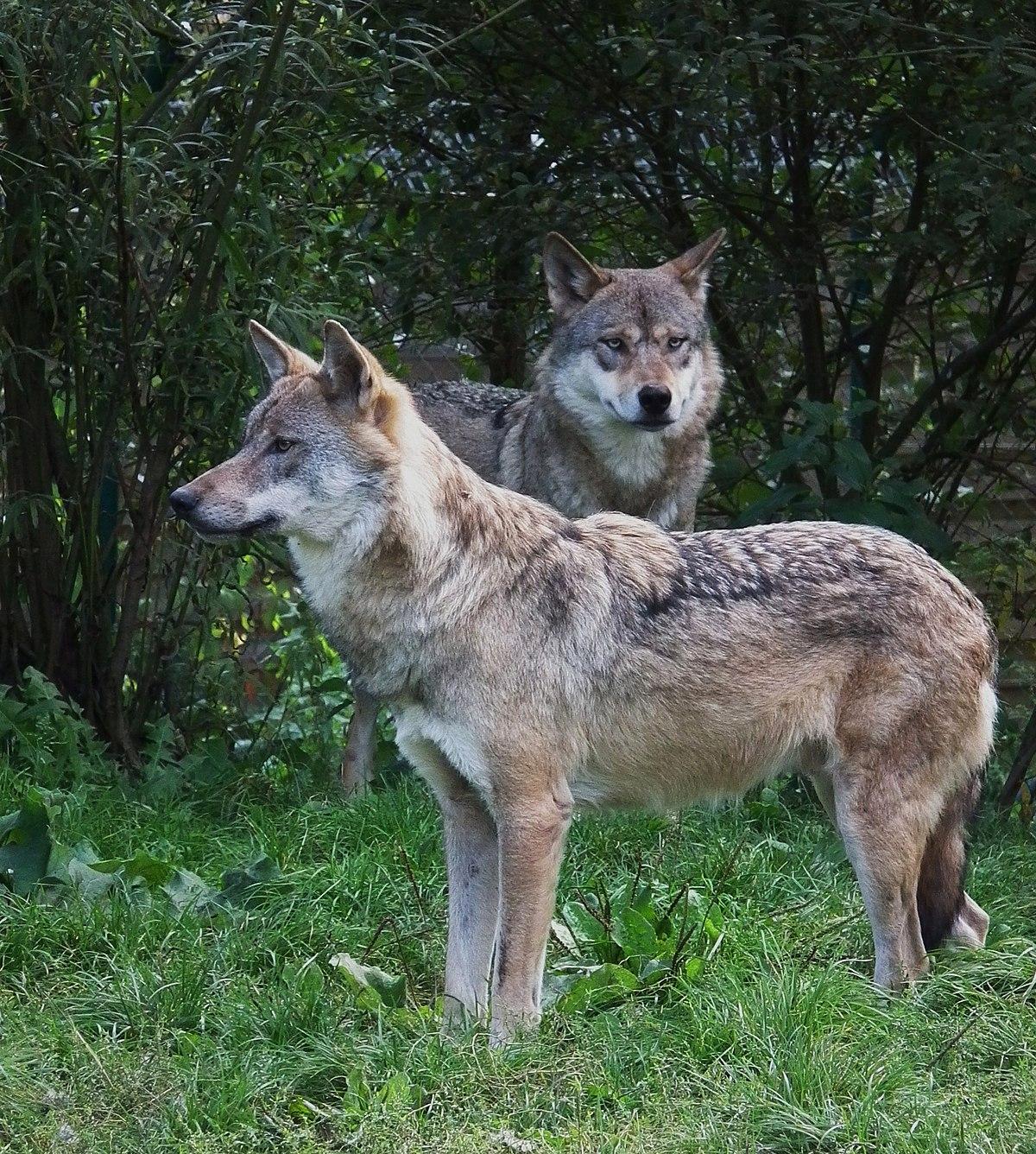 Bien-aimé Loup gris commun — Wikipédia HC34
