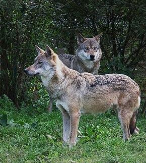Loup gris commun — Wikipédia