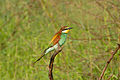 European Bee-eater (Merops apiaster) (16669620196).jpg