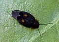 Euthyrrhapha pacifica.jpg