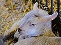 Ewe baby (32385259767).jpg
