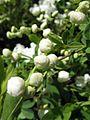 Exochorda racemosa 2.jpg