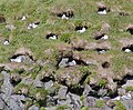 Fýll - Fulmars, Iceland (14342056997).jpg