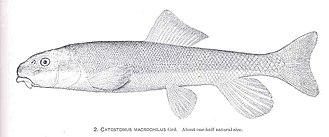 Largescale sucker - Image: FMIB 34320 Catostomus macrochilus Grd