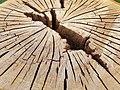 Fagales - Quercus robur - 69.jpg