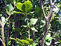Fagus sylvatica Dawyck 1zz.jpg