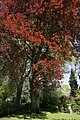 Fagus sylvatica Purpurea JPG1a.jpg