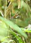 Falcated Wren Babbler.jpg