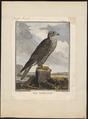 Falco gyrfalco - 1700-1880 - Print - Iconographia Zoologica - Special Collections University of Amsterdam - UBA01 IZ18200116.tif