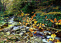 Fall-foliage-forest-creek - Virginia - ForestWander.jpg
