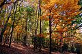 Fall-trees - West Virginia - ForestWander.jpg