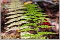 Fall Ferns (37075077864).jpg