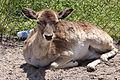 Fallow Deer (Dama dama) (5707425963).jpg