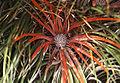 Fascicularia bicolor (8400423433).jpg
