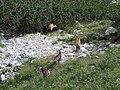 Fauna als Tatres (agost 2012) - panoramio (1).jpg