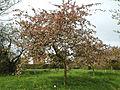 Feeringbury Manor flowering prunus, Feering Essex England 07.jpg