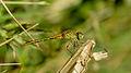 Female Wandering Percher (17087574950).jpg