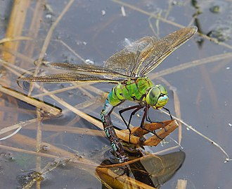 Emperor (dragonfly) - Female depositing eggs
