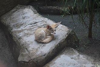 Fennec fox - In captivity