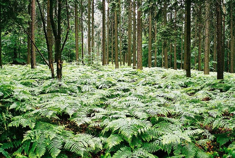 Fern grove.jpg
