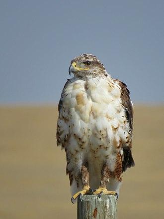 Ferruginous hawk - Image: Ferruginous Hawk Alberta