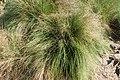 Festuca elegans kz04.jpg