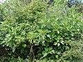 Ficus carica.002 - Monfrague.jpg