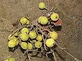 Ficus racemosa fruits at Peravoor (11).jpg