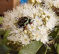 Fiddlerbeetlemyrtle cropped.jpg