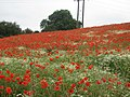 Field of Poppies - geograph.org.uk - 1371956.jpg