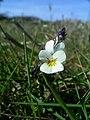 Field pansy (Viola arvensis) - geograph.org.uk - 393895.jpg