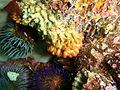Filigreed coral worms at Lorry Bay PB012078.JPG