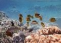 Fische im Roten Meer in Ägypten..DSCF4757WI.jpg