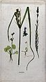 Five flowering plants, including a sedge (Carex species) and Wellcome V0043934.jpg
