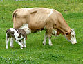 Fleckvieh-Mutterkuh mit Kalb 3.JPG