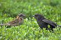 Flickr - Dario Sanches - VIRA-BOSTA Imaturo (Molothrus bonariensis) e ( Zonotrichia Capensis ) (1).jpg