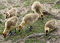 Flickr - Oregon Department of Fish & Wildlife - 6230 goslings munsel.jpg