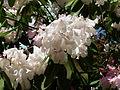 Flickr - brewbooks - Rhododendron - John M's Garden (3).jpg