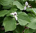 Flickr - brewbooks - Trilliums in Tasmania.jpg