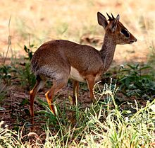 Flickr - don macauley - Dik-Dik.jpg