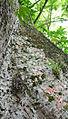 Flickr - ggallice - Polistine wasps (1).jpg