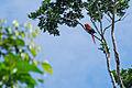 Flickr - ggallice - Scarlet macaw (1).jpg