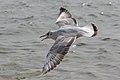 Fliegende Möve am Starnberger See (3).jpg