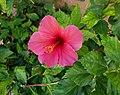 Flor d'hibisc a l'entrada del parc de la Font del Riu, Gata.jpg