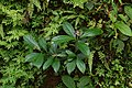 Flora of Kerala 09524.JPG