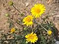 Flores de árnica (Heterotheca inuloides).jpg