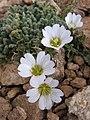 Flower in iran4.JPG